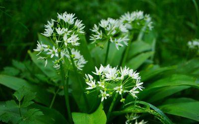 Česnek medvědí (Allium ursinum)