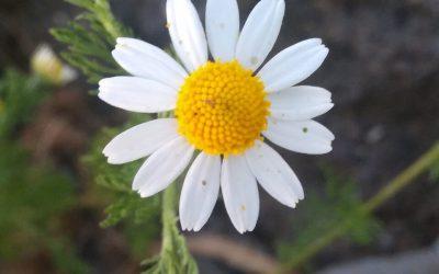 Heřmánek pravý (Matricaria recutita)