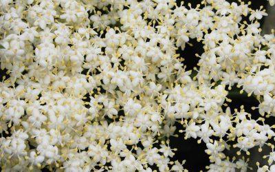 Bezová marmeláda (z květů)