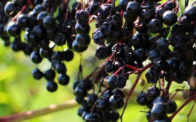 Černý bez (plod) se švestkami
