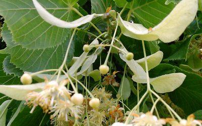 Lipová marmeláda (z květů)