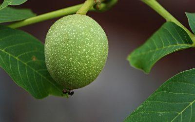 Ořechovka