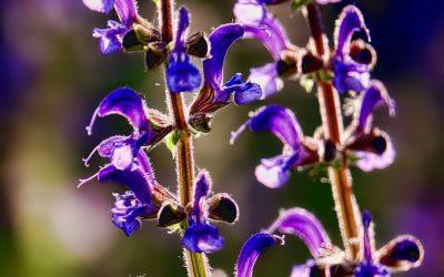 Šalvějový sirup (z květů)