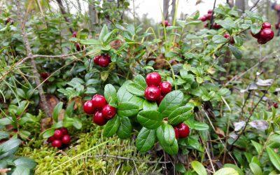 Brusnice brusinka (Vaccinum vitis-idaea)