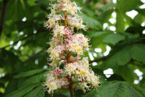 Jírovec maďal – plod (Aesculus hippocastanum)