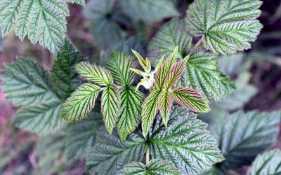 Maliník (Rubus idaeus)