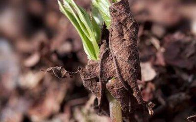 Bršlice (Aegopodium podagraria)